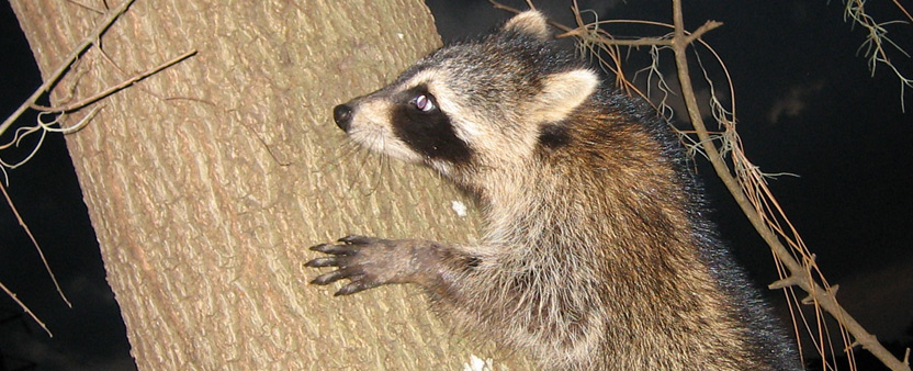 How To Keep Raccoons Out Of My Bird Feeder