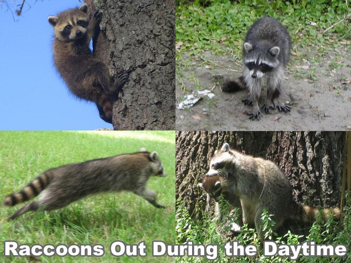 Raccoon Outside in the Daytime - Is it Rabid or Dangerous? Raccoon With Rabies Foaming