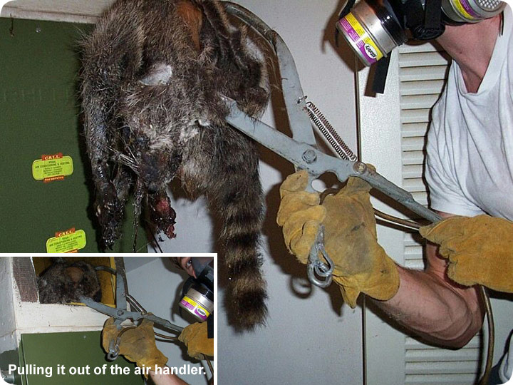 Dead Raccoon In House Horrible Smell Odor Control From