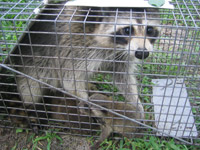 Raccoons Photographs
