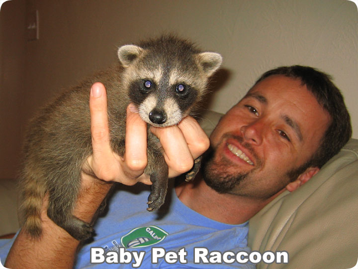 Where Can I Get A Pet Raccoon