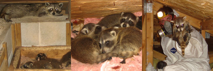 Rabies Vector Species How To Tell If A Raccoon Is Rabid