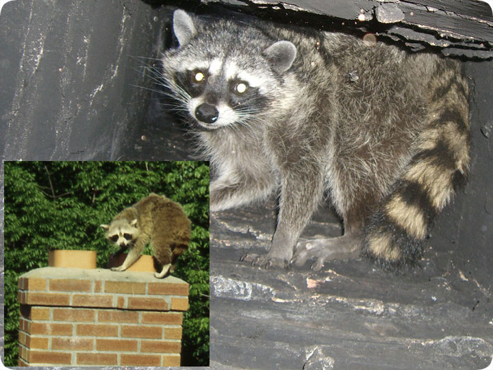 Raccoons In The Chimney How To Remove Them