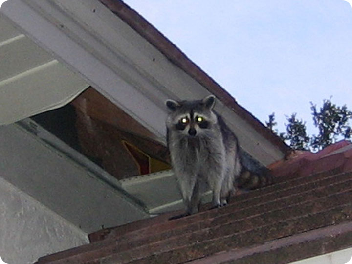 How Do Raccoons Get In A House