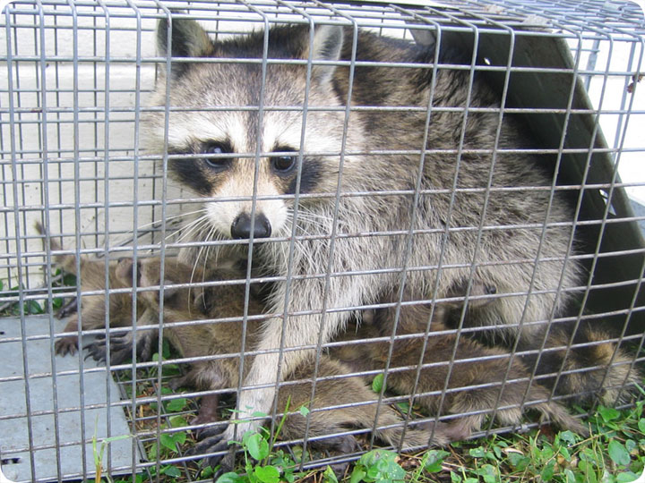 Raccoon Trapping Tips And Techniques