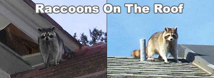 Raccoons On The Roof Removal Guide On How To Get Rid