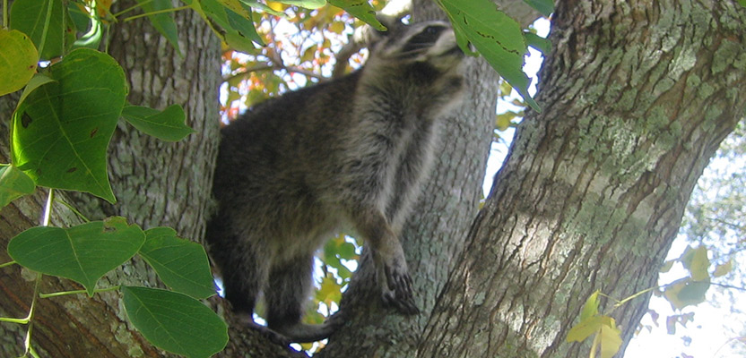 What Are Raccoons Scared Of