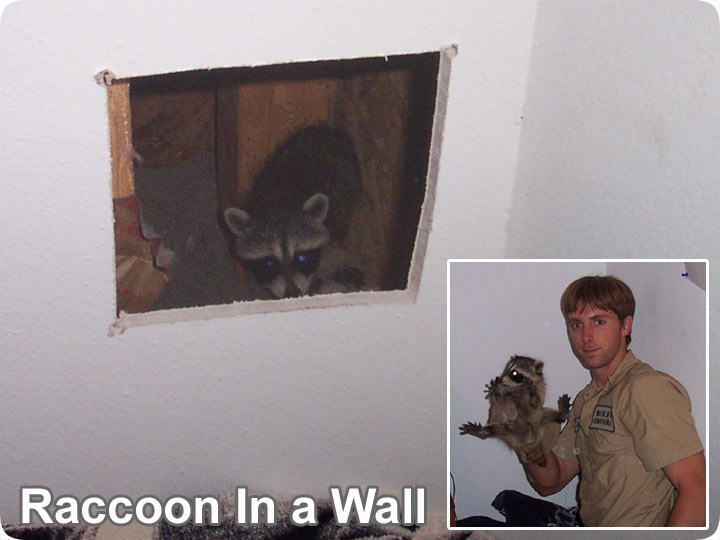 Raccoons In The Wall Removal How Do You Get Raccoons